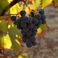VineyardsMaratheftiko